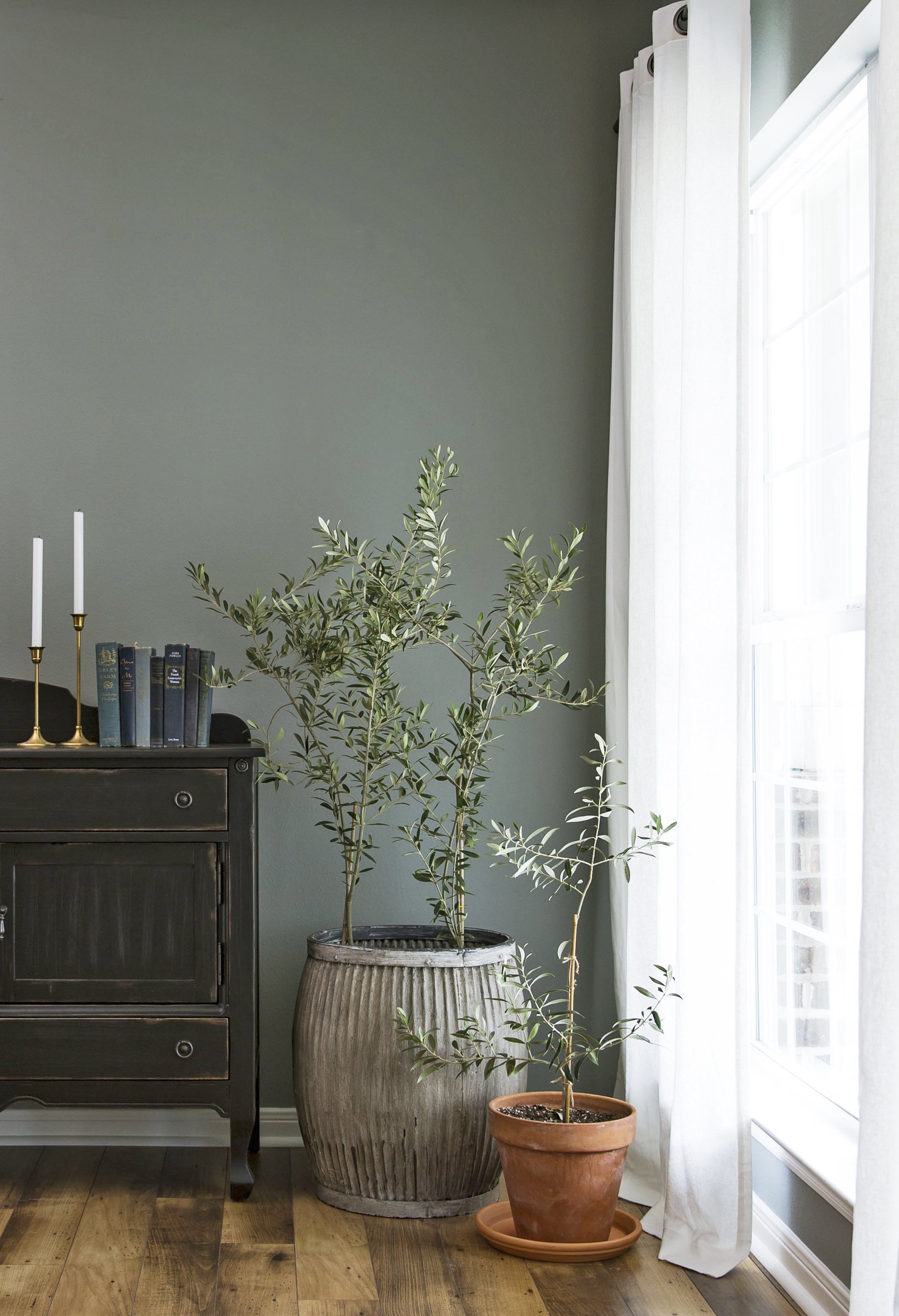 Indoor Olive Tree Ideas And Helpful Tips For Maintaining
